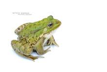 Pelophylax, Pelophylax kl. grafi, grenouille verte, Grenouille de Graf, Graf frog, Matthieu Berroneau, , white background, fond blanc