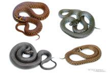 Natrix helvetica, Natrix astreptophora, Couleuvre à collier, Couleuvre helvétique, Grass snake, serpent, Matthieu Berroneau, fond blanc, white background
