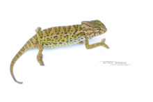 Mediterranean Chameleon, Caméléon européen, Chamaeleo chamaeleon, Maroc, Morocco, Matthieu Berroneau, white background, fond blanc