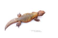 Uromastyx nigriventris, Moroccan Spiny-tailed Lizard, Fouette queue du Maroc, Maroc, Morocco, Matthieu Berroneau, fond blanc, white background