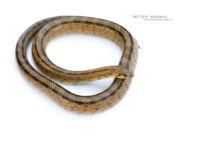 Couleuvre à échelons - Ladder snake, France