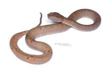 Bornean Palm Pit Viper, Trimeresurus borneensis, Bornéo, Matthieu Berroneau, fond blanc, white background