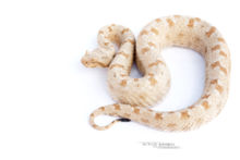 Persian Horned Viper, Pseudocerastes persicus, Israel, Israël, Matthieu Berroneau, fond blanc, white background