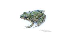 Pelodytes punctatus, Pélodyte ponctué, Matthieu Berroneau, France, Parsley frog, Sapillo moteado común, white background, fond blanc