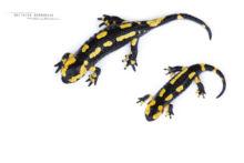 Salamandra salamandra fastuosa, Fire Salamander, Salamandre tachetée, Matthieu Berroneau, fond blanc, white background, stage, stade, croissance, growth