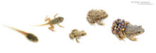 Alytes obstetricans, Alyte accoucheur, Crapaud accoucheur, Common Midwife Toad, Matthieu Berroneau, Sapo partero común, fond blanc, white background, stage, stade, croissance, growth