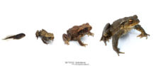 Bufo spinosus, Crapaud common, Crapaud épineux, Sapo, Common toad, Matthieu Berroneau, stade, stage, growth, croissance, white background, fond blanc