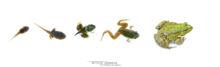 Pelophylax, Pelophylax kl. grafi, grenouille verte, Grenouille de Graf, Graf frog, Matthieu Berroneau, , white background, fond blanc, stade, stage, croissance, growth