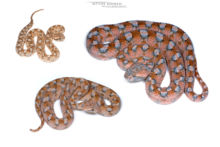 Echis coloratus, Israël, Israel, Matthieu Berroneau, pink, rose, Echis coloratus terraesanctae, Eh'phe'eh, fond blanc, white background