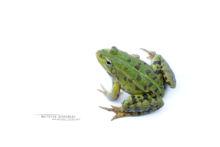 Edible hybrid frog, Pelophylax kl. esculentus, Pelophylax, grenouille verte, Grenouille comestible, Common green frog, Matthieu Berroneau, white background, fond blanc