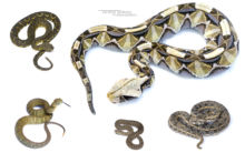 Some iconic vipers of Kenya