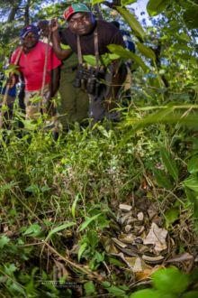 Gaboon viper, Kenya