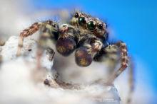 Saltique, Salticidae, araignée, spider, Marpissa muscosa, arachnid, macro, ultra macro, laowa 25 macro, Matthieu Berroneau