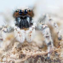 Saltique, Salticidae, Menemerus taeniatus, araignée, spider, arachnid, macro, ultra macro, laowa 25 macro, Matthieu Berroneau