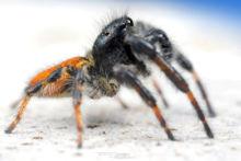 Saltique, Carrhotus xanthogramma, Salticidae, araignée, spider, arachnid, macro, ultra macro, laowa 25 macro, Matthieu Berroneau
