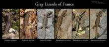 Lézard gris de France continentale