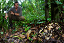 Bitis gabonica, Vipère du Gabon, Gaboon viper, Uganda, Ouganda, Matthieu Berroneau