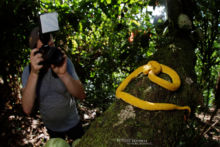 Bothriechis schlegelii, Vipère de Schlegel, Eyelash Viper, Víbora de Pestañas, Costa Rica, Matthieu Berroneau, shooting
