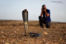 Naja haje legionis, Cobra égyptien, Egyptian cobra, Morocco, Maroc, Desert, sable, Matthieu Berroneau