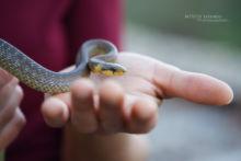 Zamenis longissimus, Couleuvre d'Esculape, Aesculapian snake, France, Matthieu Berroneau, main, hand