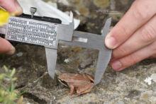 Rana pyrenaica, Pyrenean frog, Grenouille des Pyrénées, France, Matthieu Berroneau, mesure, measurement