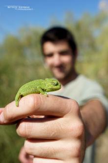 Mediterranean Chameleon, Caméléon européen, Chamaeleo chamaeleon, Spain, Espana, Espagne, Matthieu Berroneau