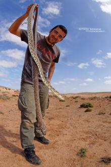 Horse Shoe Wip Snake, Hemorrhois hippocrepis, Couleuvre fer-à-cheval, Maroc, Morocco, Matthieu Berroneau