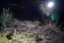 Pelobates cultripes, Western Spadefoot Toad, Pélobate cultripède, France, Matthieu Berroneau, sand, sable, dune, beach, plage, light, lamp, herping, herp, lampe