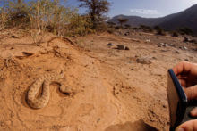 Cerastes cerastes, Vipère à cornes, Saharan horned viper, Matthieu Berroneau, Maroc, Morocco, Cerastes mutilata