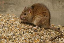 Rattus norvegicus, Rat surmulot, Brown rat, France, Matthieu Berroneau