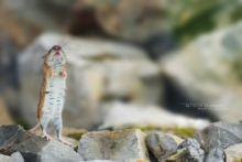 Mulot à collier, Apodemus flavicollis, Yellow-necked mouse, Matthieu Berroneau, france
