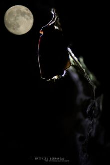 Grand Rhinolophe, Greater horseshoe, France,Rhinolophus ferrumequinum, Matthieu Berroneau, moon, lune, night, nuit