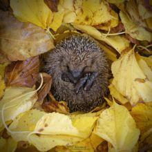 Hérisson d'Europe, Erinaceus europaeus, European Hedgehog, France, Matthieu Berroneau, winter, hiver, hivernation, hibernation, leaf, feuille morte, dead leaf