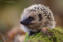 Hérisson d'Europe, Erinaceus europaeus, European Hedgehog, France, Matthieu Berroneau