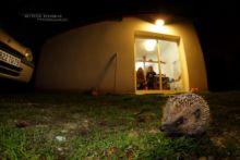 Hérisson d'Europe, Erinaceus europaeus, European Hedgehog, France, Matthieu Berroneau, maison, house, light, lumière, nuit, night