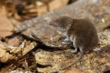 Crocidure musette, Crocidura russula, Greater White-toothed Shrew, France, musaraigne, Matthieu Berroneau, France