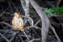 Macaca nemestrina, Malaysia, Malaisie, Southern Pig-tailed Macaque, Matthieu Berroneau, Macaque malais