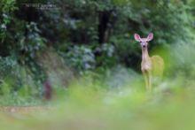 Odocoileus virginianus, Matthieu Berroneau, White-tailed deer, Cerf de Virginie, Costa Rica