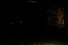 Mulot sylvestre, Apodemus sylvaticus, Wood mouse, France, Matthieu Berroneau, nuit, night