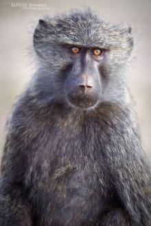 Babouin olive, Papio anubis, Olive baboon, Uganda, Ouganda, Matthieu Berroneau