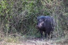 Hylochoerus meinertzhageni, Sanglier géant des forêts, Hylochère, Giant forest hog, Matthieu Berroneau, Uganda, Ouganda