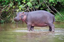 Hippopotame commun, Common Hippopotamus, Hippopotamus amphibius, Uganda, OUganda, Matthieu Berroneau