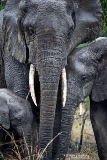 Eléphant d'Afrique, Loxodonta africana, Uganda, Ouganda, Matthieu Berroneau, African bush elephant, Eléphant de Savane d'Afrique