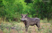 Phacochère commun, Phacochoerus africanus, Common Warthog, Uganda, Ouganda, Matthieu Berroneau