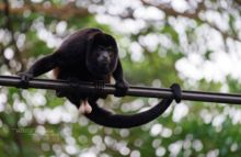 Alouatta caraya, Hurleur noir, Black Howling Monkey, Costa Rica, Matthieu Berroneau