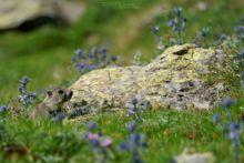 Marmotte des Alpes, Marmota marmota, Alpine marmot, France, Matthieu Berroneau