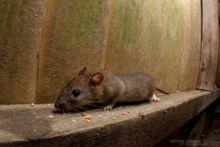 Rattus norvegicus, Rat surmulot, Brown rat, France, Matthieu Berroneau, young, juvenile