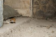 Mulot sylvestre, Apodemus sylvaticus, Wood mouse, France, Matthieu Berroneau, fuite, nuit, run, night