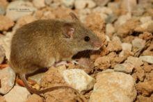 Souris d'Afrique du Nord, Mus spretus, spain, espagne, espana, Algerian mouse, Western Mediterranean mouse
