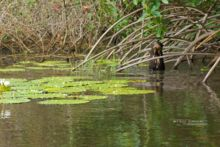 Loutre géante d'Amazonie, Pteronura brasiliensis, Guyane, french guiana, Matthieu Berroneau, Amazonian Giant Otter